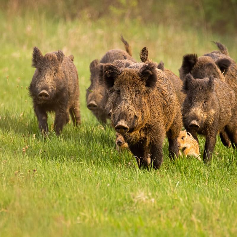 box foto wildschweine